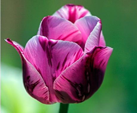 Фото самых красивых тюльпан