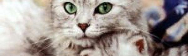 Teach ragdoll cat tricks